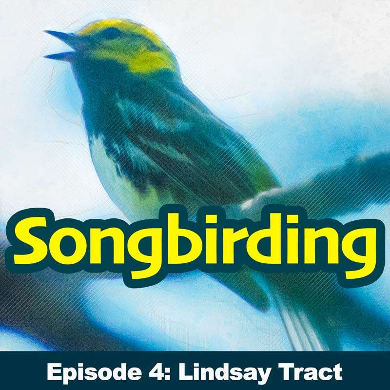 S1E4 - Beer-beer-bees! The Black-throated Blue Warbler (Lindsay Tract)